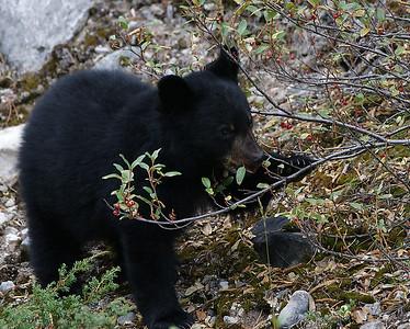 Black Bear Cub 2, Jasper National Park, Alberta