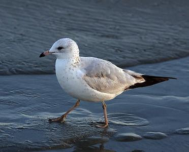Gull, Myrtle Beach, SC