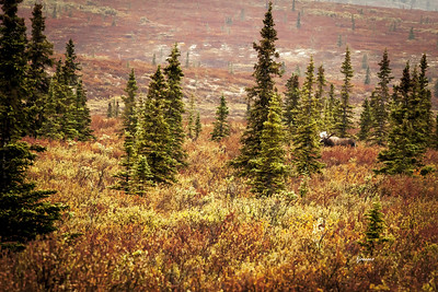 Denali tundra in the fall with Mr. Moose