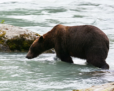 Brown Bear 9, Haines, Ak