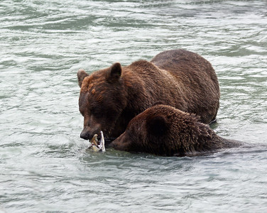 Brown Bear 17, Haines, Ak