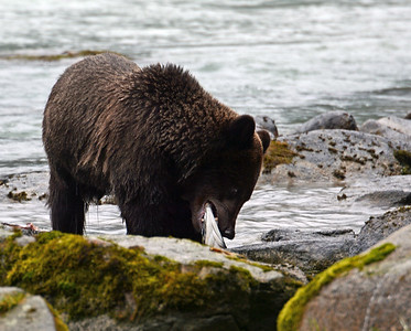 Brown Bear 3, Haines, Ak