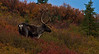 A caribou strikes a pose against the fall colors - Denali National Park.<br /> Photo © Cindy Clark