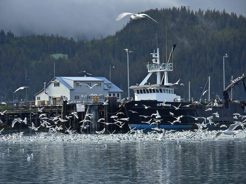 Excitable gulls in Cordova harbor.<br /> Photo © Carl Clark