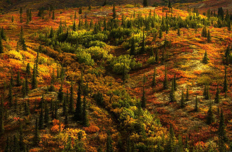 A sunlit taiga forest in full fall color - Denali National Park.<br /> Photo © Cindy Clark