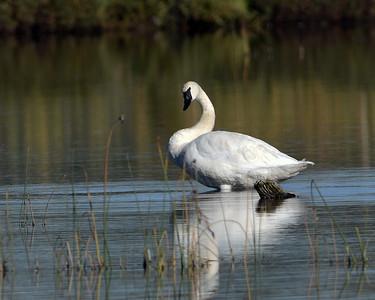 Trumpeter Swan 1, Potter Marsh, Ak