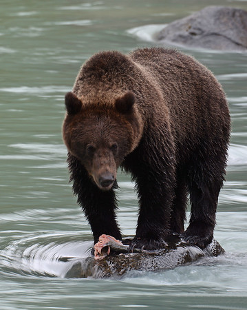 Brown Bear 1, Haines, Alaska