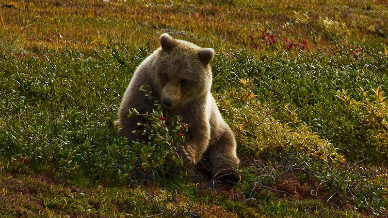 Grizzly cub having a snack at Denali National Park.<br /> Photo © Cindy Clark