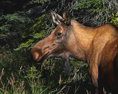 Moose Cow, Kenai, Ak