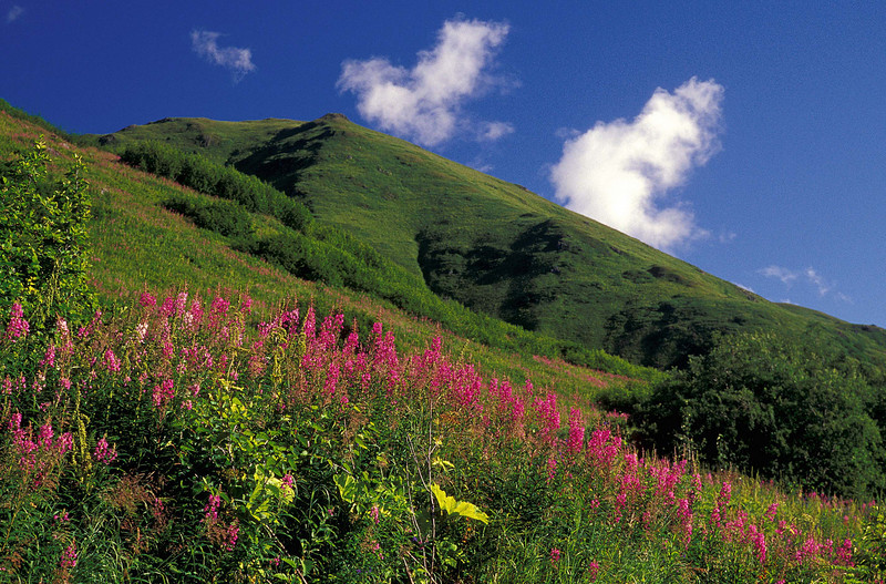 Fireweed lights up a hillside near Hatcher Pass.<br /> Photo © Cindy Clark