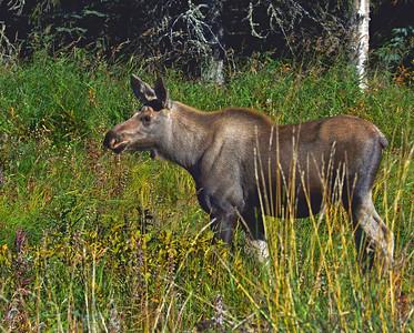 Moose Calf 1, Kenai, Ak