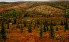 A sunlit taiga forest in autumn  in Denali National Park.<br /> Photo © Cindy Clark