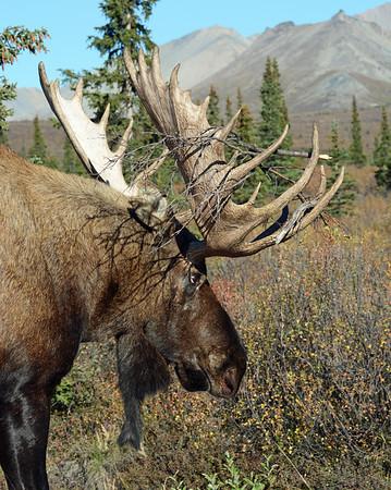 Bull Moose 3, Denali N.P., Ak