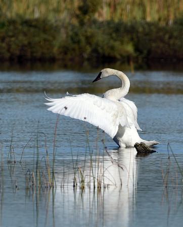Trumpeter Swan 2, Potter Marsh, Ak