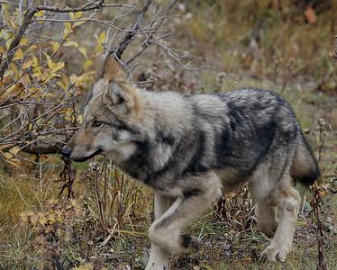 Wolf 2, Dry Creek Pack, Denali N.P., Ak