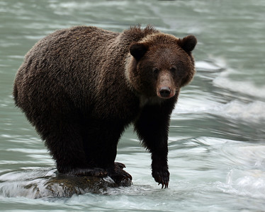 Brown Bear 2, Haines, Ak