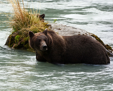 Brown Bear 7, Haines, Ak