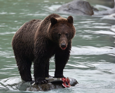 Brown Bear 4, Haines, Alaska