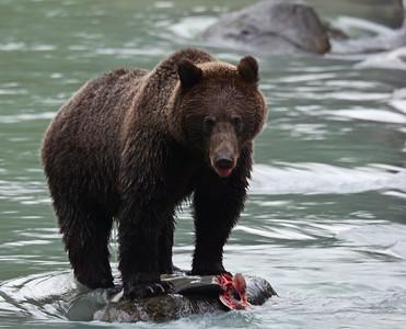 Brown Bear 4, Haines, Alaska