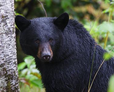 Black Bear, Denali Stae Park, Ak