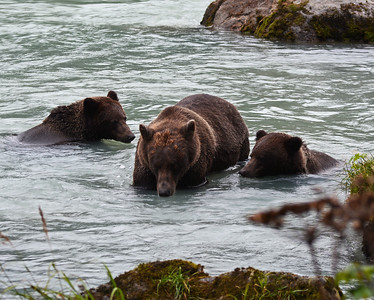 Brown Bear 6, Haines, Ak