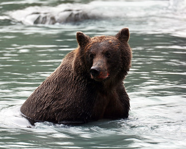 Brown Bear 14, Haines, Ak