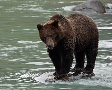 Brown Bear 15, Haines, Alaska