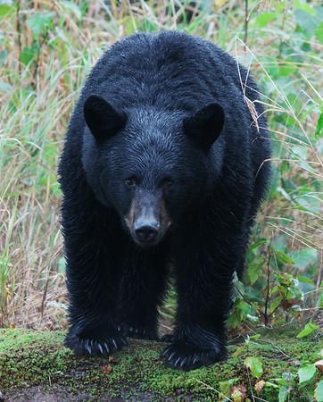 Black Bear 2, Denali State Park, Ak