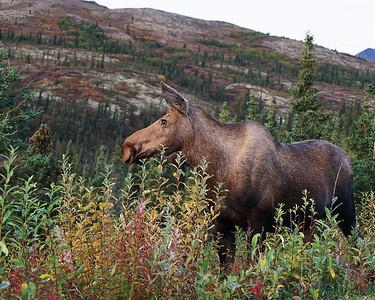 Moose Cow, Denali N.P., Ak