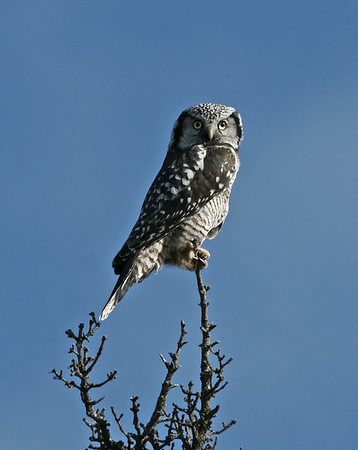 Northern Hawk Owl, Copper River, Ak