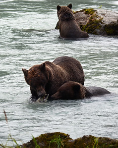 Brown Bear 11, Haines, Ak