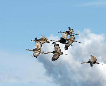 Sandhill Cranes, Fairbanks, Ak