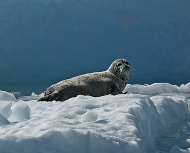 Harbor Seal, Columbia Glacier, Ak