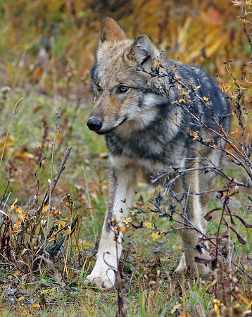 Wolf 1, Dry Creek Pack, Denali N.P., Ak