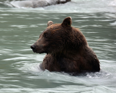 Brown Bear 8, Haines, Ak