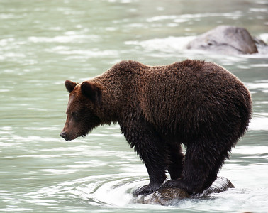 Brown Bear 12, Haines, Ak