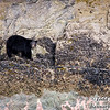 Black bear at the intertidal zone to feed on barnacles and mussels. Tracy Arm, Alaska.