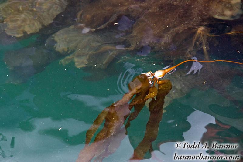 Floating kelp.