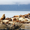 A Steller sea lion young bachelor pad with one old guy hanging out with the boys.