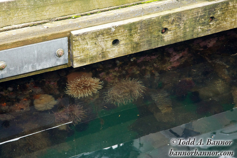 Anemones on floating dock.