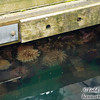 Anemones on floating dock.