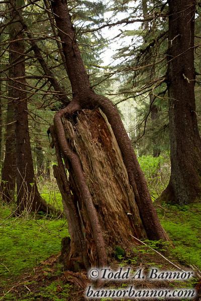 Sitka spruce growing on nurse stump.