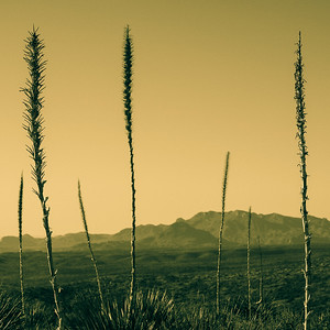 Yucca in Big Bend National Park