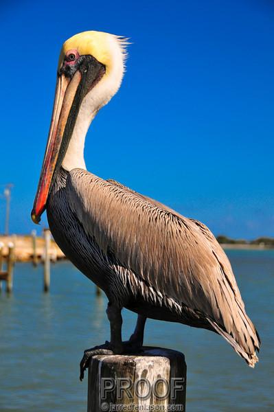 Fort Pierce Florida Pelican