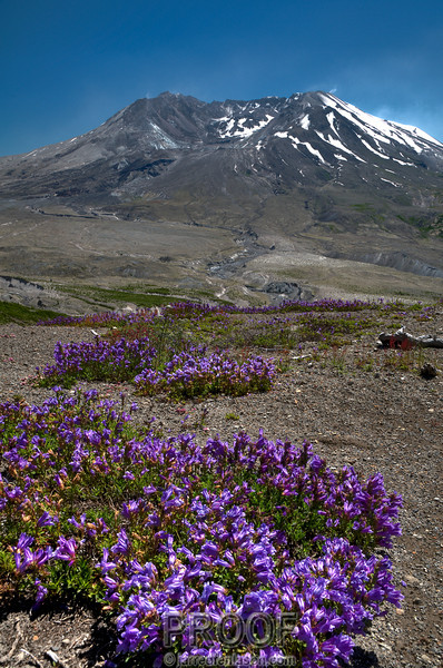 Flowers Grow from Mt St Helen's Path of Destruction