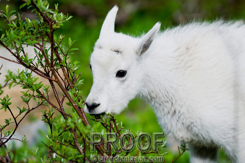 Kid Goat Nibbling on the Bushes
