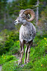 Big Horn Sheep on the Lookout in Glacier National Park