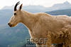 Mountain Goat on the Edge
