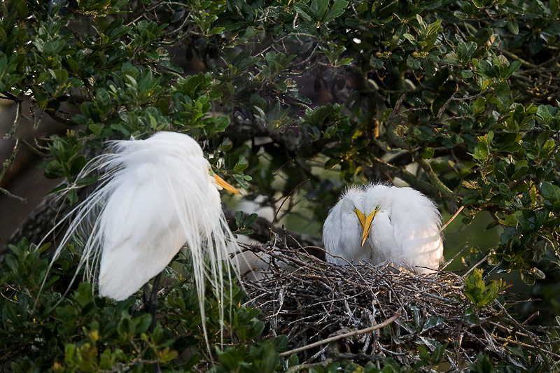 Great Egret, adult and two chicks.