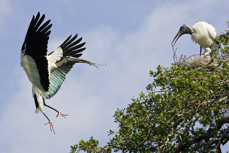 Wood Stork (Mycteria americana) in breeding plumage about to land on nest.